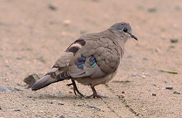 Emerald-spotted Wood-dove