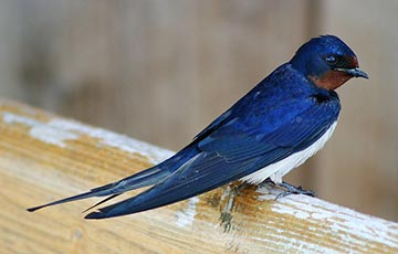 European Swallow (Barn swallow)
