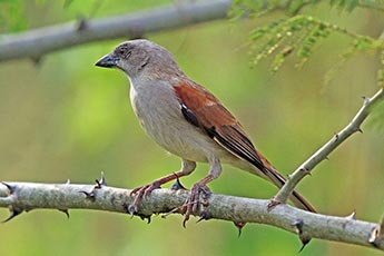 Grey-headed Sparrow