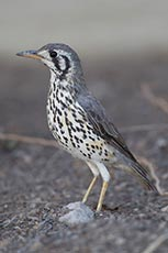 Groundscraper Thrush