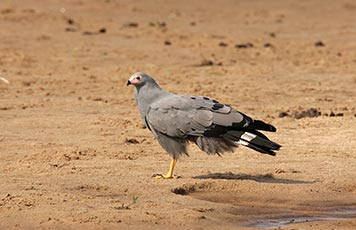 Gymnogene (African harrier-hawk)