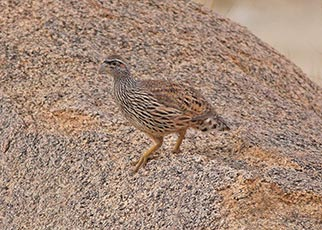 Hartlaub's spurfowl