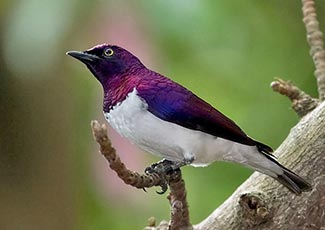 Plum-coloured Starling