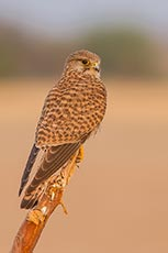 Rock Kestrel (Common kestrel)