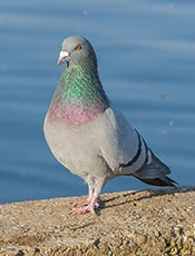 Rock Pigeon (Rock dove)