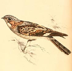 Rufous-cheeked Nightjar