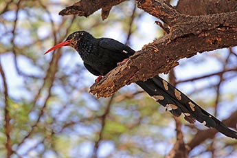 Red-billed Woodhoopoe (Green wood hoopoe)