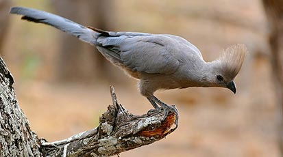 Southern Grey Go-away bird