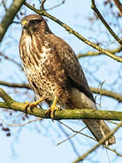 Steppe Buzzard (Common buzzard)