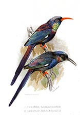 Violet wood hoopoe