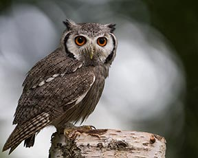 White-faced Owl (Southern white-faced owl)