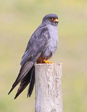 Western Red-footed Kestrel (Red-footed falcon)