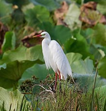 Yellow-billed Egret (Intermediate egret)